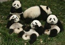 25 de ursi panda nascuti in Sichuan dupa cutremur