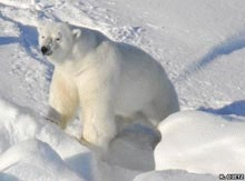 Stresul micsoreaza ursii polari