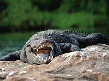 Crocodilii au inchis un camping din Thailanda