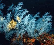 S-a descoperit cea mai mare padure de corali negri din lume