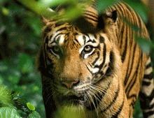 Tigru malaiez rar salvat din cursa braconierilor cursa