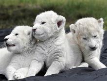 Trei pui de leu alb in prima lor aparitie publica