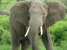 Elefanti eliberati de chinuri se intorc in salbaticie