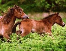 Stop insemnarii cu fier incins a poneilor!
