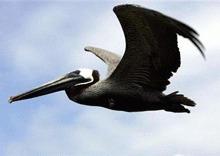 Pelicanul a iesit de pe lista pasarilor pe cale de disparitie
