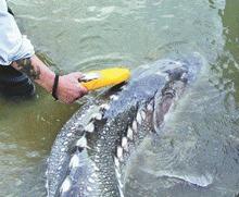 Protest fata de legalizarea pescuitului sturionilor in scop comercial