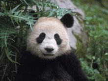 Interzis la ursii panda din cauza gripei porcine