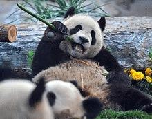 Doi ursi panda, cadou de la China pentru Australia