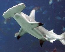 Misterul rechinului-ciocan, dezvaluit
