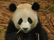 Ursoaicele panda canta pentru a ramane gestante