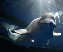 Alaska protejeaza habitatul balenelor beluga