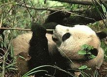 Inca doua rezervatii naturale pentru ursii panda