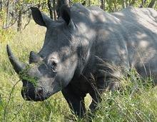O ultima incercare de a salva rinocerul alb