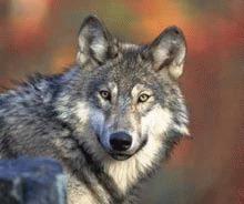 Suedia incepe vanatoarea de lupi