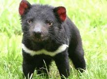 Cercetatorii au descoperit sursa tumorii care omoara diavolii tasmanieni