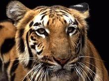 Au mai ramas 3.200 de tigri in salbaticie
