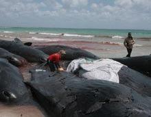 Peste 120 de balene au esuat in masa in Noua Zeelanda