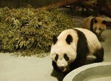 China si Thailanda colaboreaza pentru studierea ursilor panda