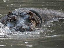 Un hipopotam a evadat de la o gradina zoologica din Muntenegru