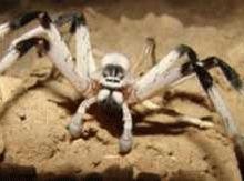 Specie noua de paianjen descoperita in Israel