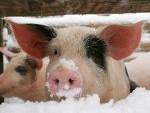 Porci ingropati de vii pentru studiul avalanselor