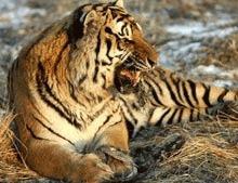 WWF: Tigrii Chinei risca sa dispara in 30 de ani