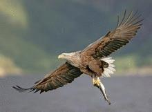 Vulturii aduc 3 milioane de dolari pe an insulei Mull