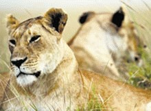 Kenyenii vaneaza pentru a hrani leii