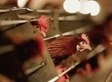 Doar 17% dintre gainile crescute pentru oua sunt tinute in baterii