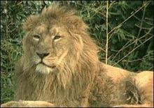 Indienii din Gujarat refuza din nou sa dea lei in schimbul tigrilor