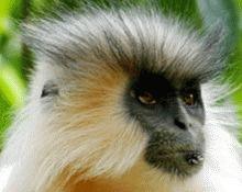 Jumatate dintre primatele din lume sunt in pericol