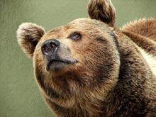 Ursul brun s-ar putea intoarce in Marea Britanie