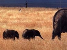Mama-elefant care a nascut primii gemeni masculi din lume