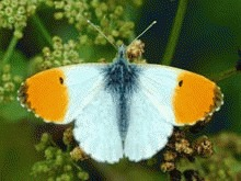 Libelulele, carabusii si fluturii, pe Lista Rosie a UE