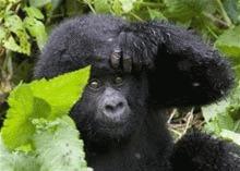 Amenintare cu disparitia pentru gorilele din Africa
