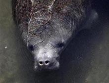 Lamantinii din apele Floridei mor in trei luni cat intr-un an