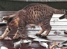 Whiskas si Sheba fac mancare eco pentru pisici