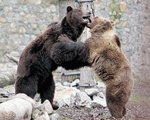 Imagini in direct din cusca ursului