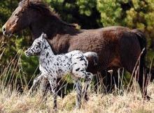 S-a descoperit un cal `dalmatian`