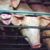 Viata porcilor va fi imbunatatita