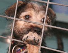 Prefectura vrea sa eutanasieze cainii care stau mai mult de 7 zile in adaposturi