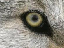 Montana aproba prima vanatoare de lupi cenusii dupa 15 ani