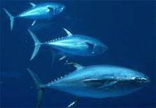 Greenpeace declara razboi pescarilor de ton cu inotatoare albastra