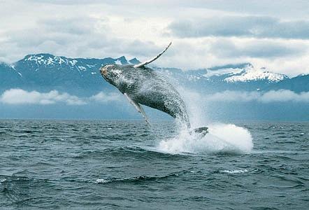 Australia da Japonia in judecata pentru vanatoarea balenelor