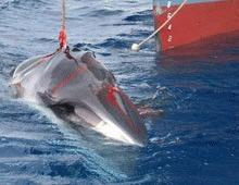 Curtea Internationala va judeca Japonia pentru vanatoarea de balene