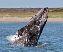 Cea mai periclitata balena traieste in largul Rusiei