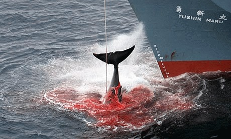 Greenpeace si WWF sustin conditionat vanatoarea de balene
