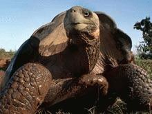 Testoasa de Galapagos, salvata de la disparitie