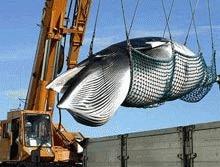 Islanda trebuie sa renunte la vanatoarea de balene pentru a adera la UE
