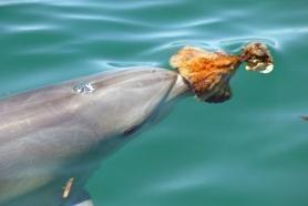 Mamele delfin isi invata fiicele sa foloseasca unelte